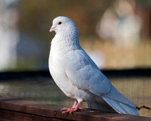 Флеш гадание «Почтовая голубка»