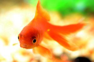 """Гадание три желания """"Золотая рыбка"""""""